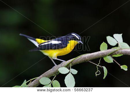 Yellow-rumped Flycatcher Ficedula Zanthopygia