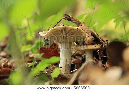 Yellowish-white Mushroom