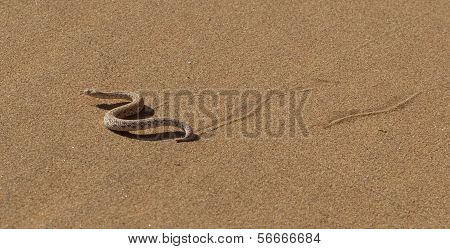 Young Dune Adder Or Sidewinder Snake With Trail