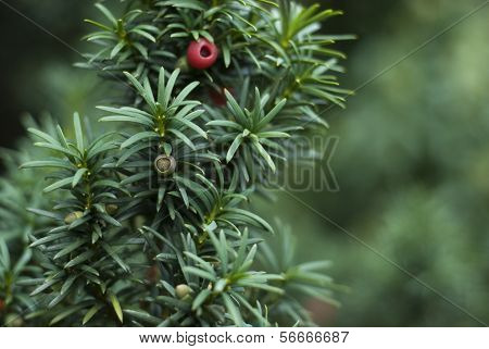 Close Up Of Yew Tree Branch