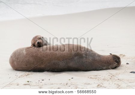 Adult And Pup Galapagos Sea Lions Asleep