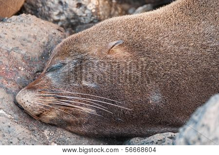 Head Close Up Of Galapagos Sea Lion