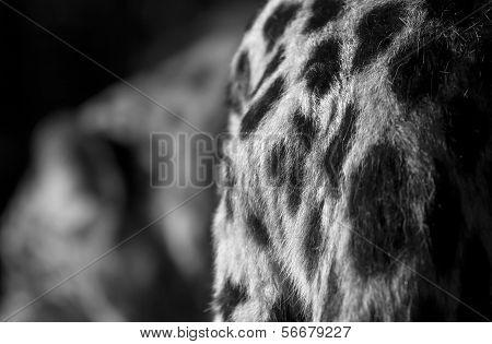 Leopard Croup Detail