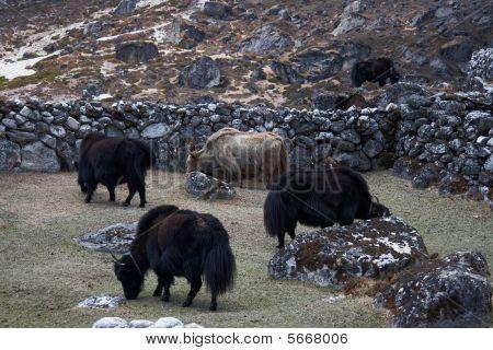 Grazing Yaks, Everest Region, Himalayas, Nepal