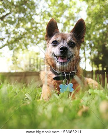a cute chihuahua in the grass