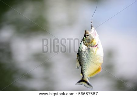 Piranha fish on hook