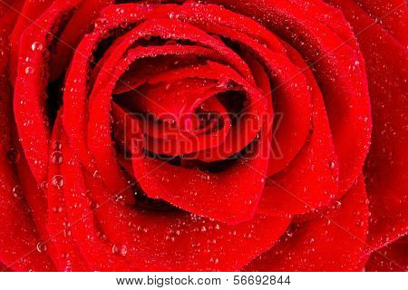 a red rose with drops of water on the flower.