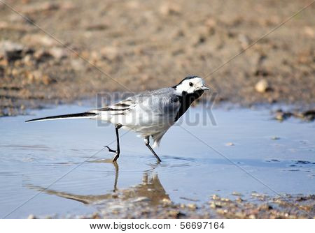 Blanching wagtail