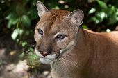 stock photo of cougar  - A close up of a large mountain lion or cougar in the jungle of Belize - JPG