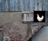 pic of hen house  - a chicken by hen house - JPG