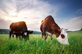 stock photo of herd  - Cow in meadow - JPG