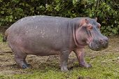 stock photo of hippopotamus  - An adult hippopotamus grazing on green grass during the day time - JPG