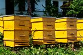 pic of bee keeping  - Some yellow beehives in garden with bees - JPG