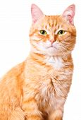 picture of orange kitten  - Orange cat on a white background - JPG