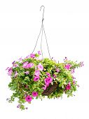 stock photo of petunia  - Hanging basket with a petunia flower isolated on a white background - JPG