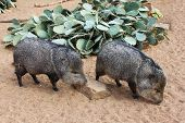 picture of desert animal  - A collared peccary or javelina - JPG