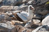 foto of booby  - Nazca Booby with young chick at nest - JPG