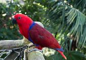picture of parrots  - Colourful red and blue  parrot bird sitting on the perch - JPG
