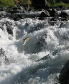stock photo of rogue  - Chinook Salmon making its way up a natural fish ladder on the Rogue River - JPG