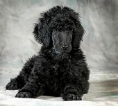 picture of standard poodle  - standard poodle puppy laying down  - JPG