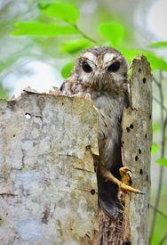 picture of screech-owl  - Cuban Screech - JPG