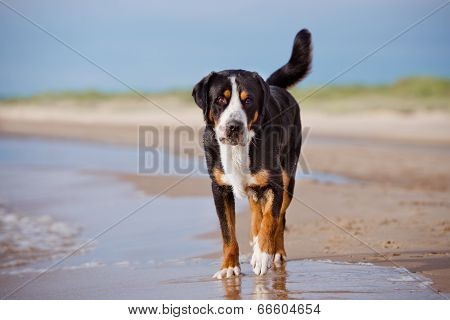 great swiss mountain dog on the beach