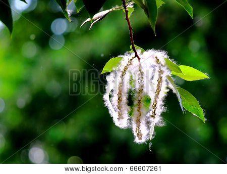 Blossoming Branch Of Poplar