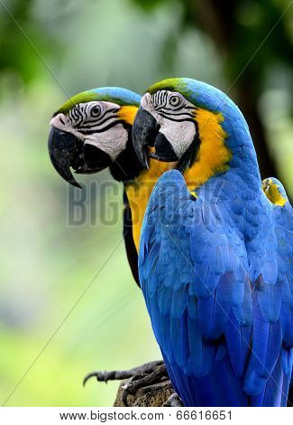 Beautiful Of Sweet Blue And Gold Macaw Birds Perching On The Log