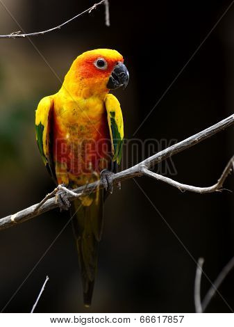 Beautiful Yellow Sun Conure Parrot Bird Sitting On The Branch With Chest Profile