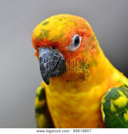 Close Up Head Of  Beautiful Yellow Sun Conure Parrot Bird