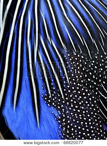 Close Up Of Blue And Black Bird Feathers In Great Details Of Texture Background