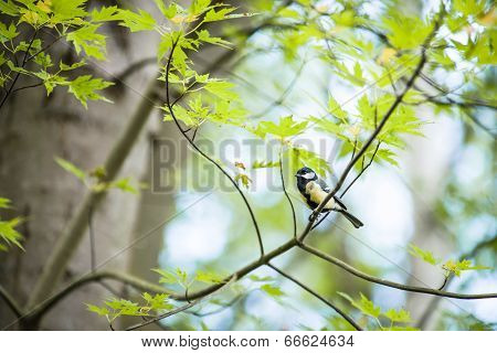 Great Tit ( Parus Major ) Standing On Tree