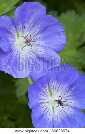 Blue Geranium flowers in the garden