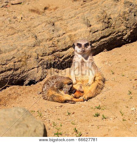 Adult Meerkat ( Suricata suricatta ) with baby.