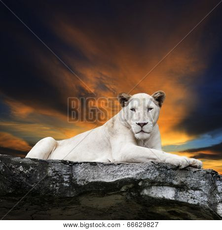 Close Up Face Of White Lioness Lying On Rock Cliff Against Beautiful Dusky Sky