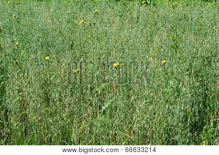 Field Of Oats With Yellow Flowers