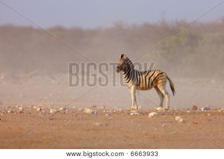 Zebra In Sand Storm