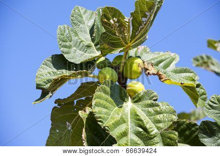 Wild Grow Fig Tree In South France