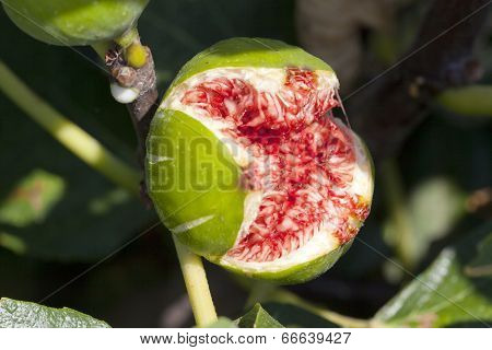 Fig Split Open With Flies