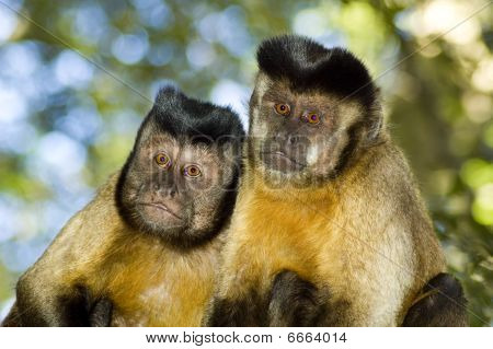 Capuchin Monkey Pair