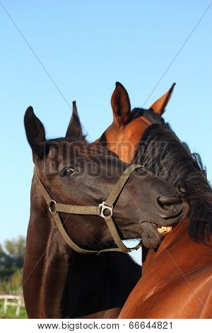 Black And Brown Horses Nuzzling Each Other