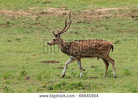 Sri Lankan Axis Deer