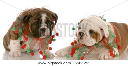 Two Bulldog Puppies Wearing Scarves