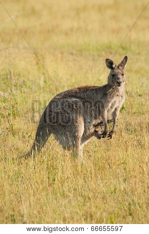 Wild Australian female kangaroo (eastern gray kangaroo - Macropus giganteus) with a joey in pouch