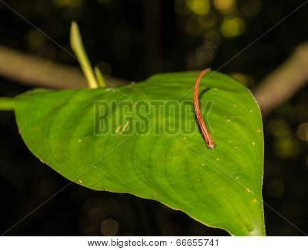 Tiger Leech waiting for prey on a leaf