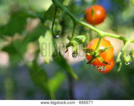 Macro Waterdroplets On Tomato