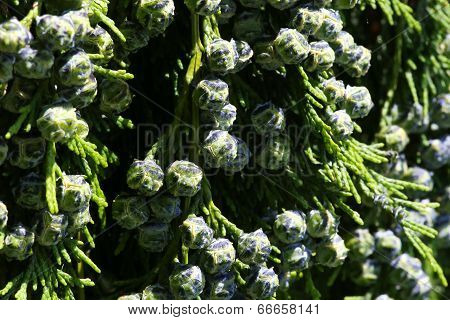 Cedar Cypress Leyland With Blue Pine Cones