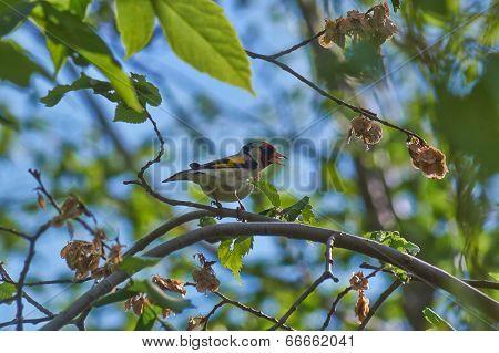 Songbird - Goldfinch.