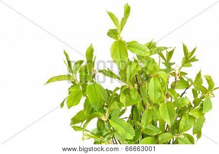 Branches Of Bird Cherry Tree
