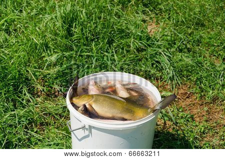 Big Fish Fishing Catch In Bucket Water On Meadow